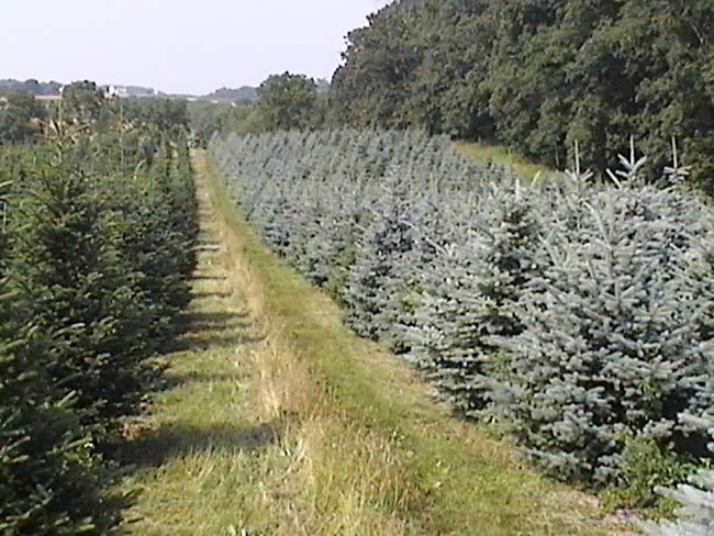 Fraser Fir Christmas Trees MD and Blue Spruce Christmas Trees Baltimore MD Montgomery MD