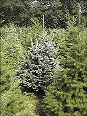 Montgomery MD Christmas Tree Farm Blue Spruce